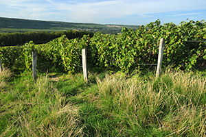 Vineyard in Fossoy