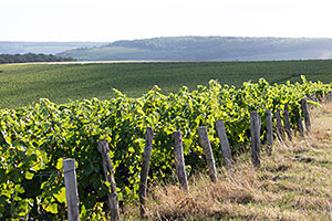 Vines in Gland